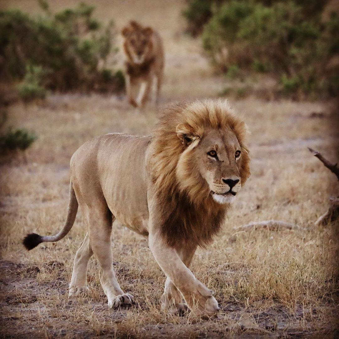 Manada de leones - The Indiana Travel