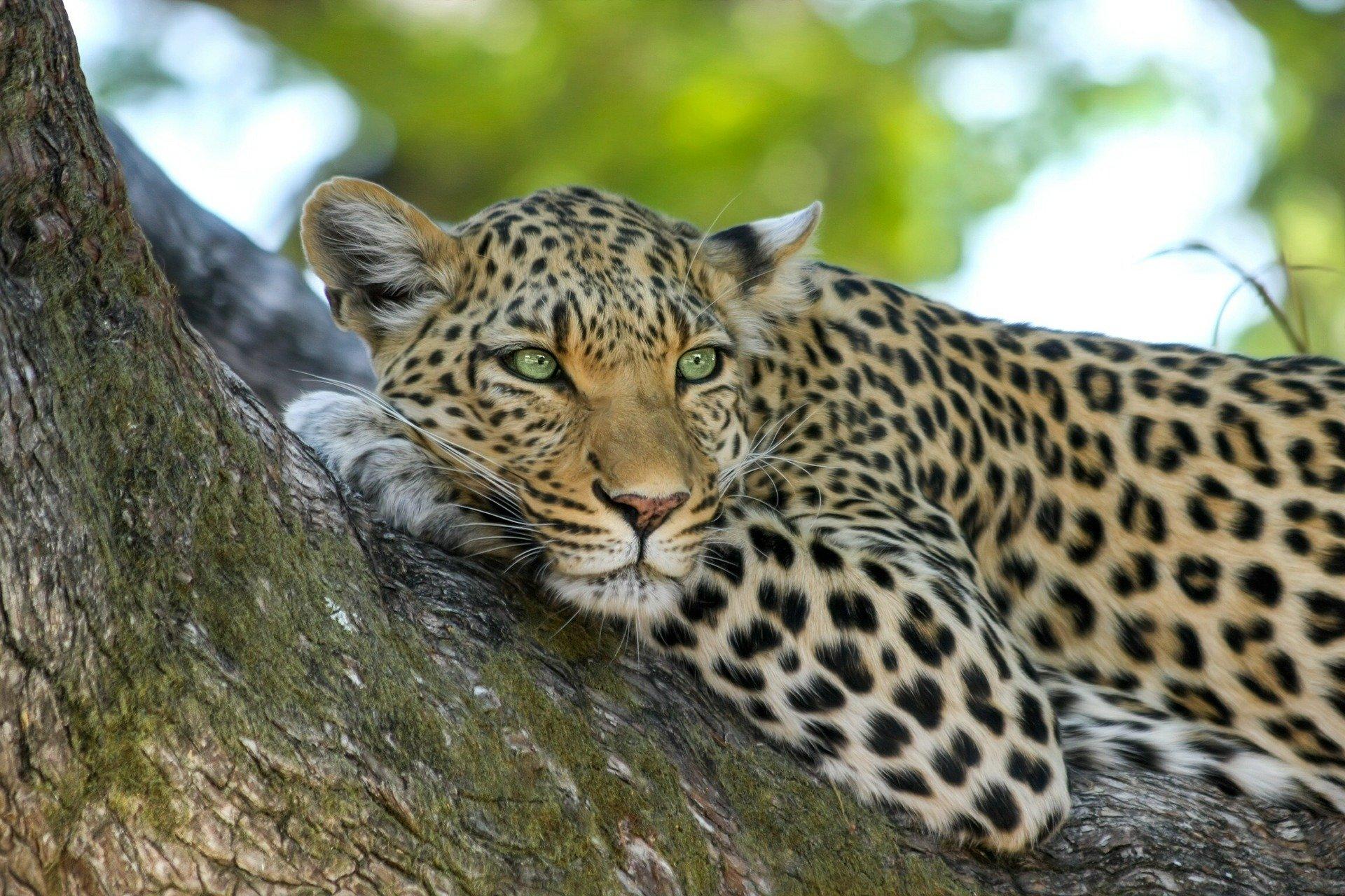 Leopardo en Botswana - The Indiana Travel - Viajes a Botswana